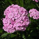 Pink Sweet William by debbiedoda