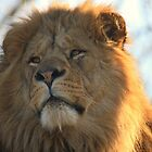 African Lion by Franco De Luca Calce