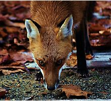 Cunning- Out foxing the fox. Photographic Print