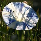 Morning Glory with Shadows and Sunlight by MaryinMaine