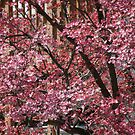 Dogwoods in Pink by Ruth Lambert