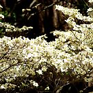 Dogwood tree in full bloom.. by Ruth Lambert