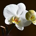 White orchid (Phalaenopsis) by walstraasart