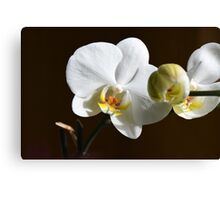 White orchid (Phalaenopsis) Canvas Print