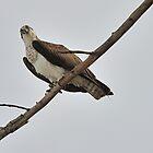 Osprey Eying Prey by doctorphoto