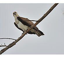 Osprey Eying Prey Photographic Print
