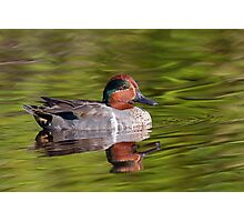 Green Winged Teal Duck Photographic Print