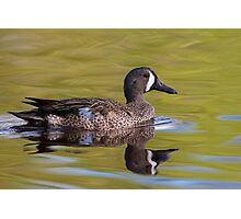 Blue-Winged Teal Duck Photographic Print