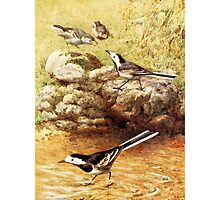 Pied Wagtails Vintage Art Photographic Print
