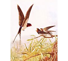 Swallow Bird Illustration Photographic Print