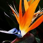 Bird of Paradise by Darsha Gillmore