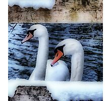 Two swans in the snow Photographic Print