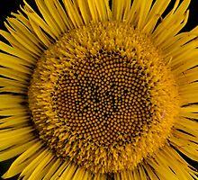 Yellow sun flower by Paloma Trujillo