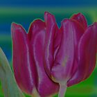 solarized tulips by David Ford Honeybeez photo