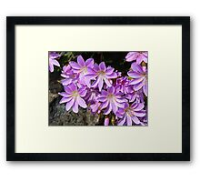 Bitterroot in bloom Framed Print