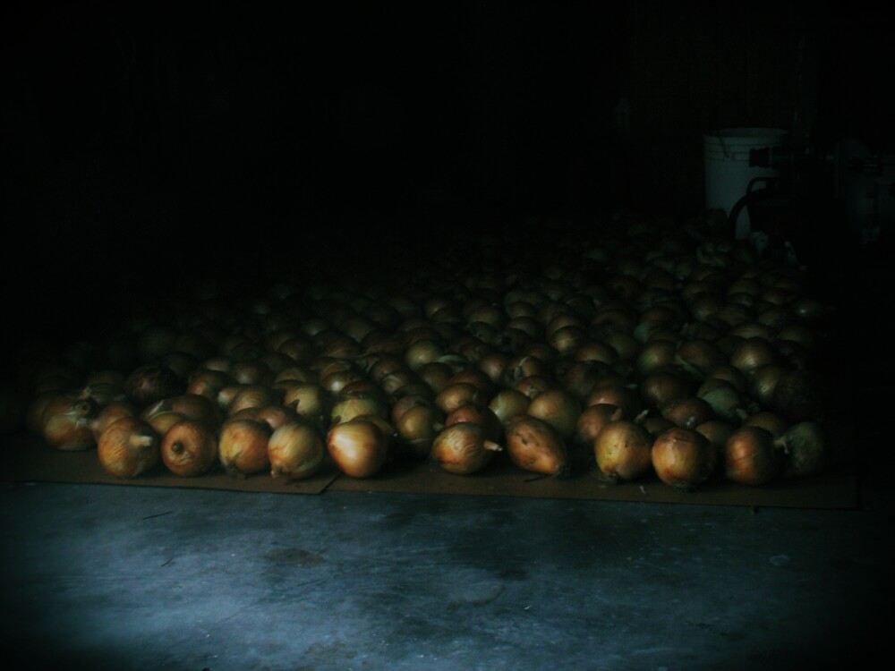 a flood of onions  by Isa Rodriguez