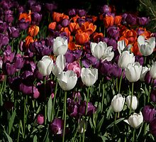 Tulips in morning light by FLYINGSCOTSMAN