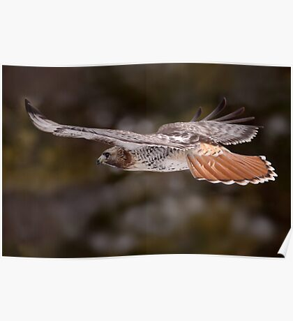Red Tail Hawk In Flight Poster