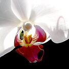 Orchid II by bkphoto