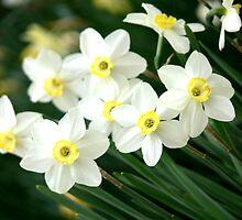 Daffodilly by Hope Ledebur