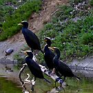Cormorants group by flyfish70