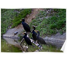 Cormorants group Poster