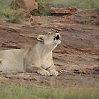 Lioness singing - Entabeni Game Reserve by Bassy