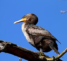 Double-crested Cormorant by flyfish70