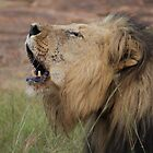Lion singing - Entabeni Game Reserve by Bassy