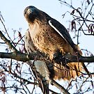 Red Tailed Hawk with Prey by David Friederich