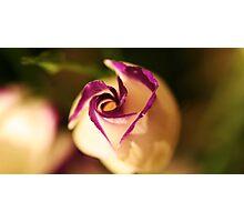 plump lizianthus spiralling open Photographic Print