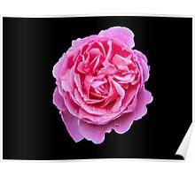 Large Pink Rose Poster