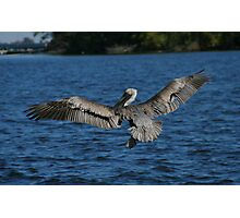 Pelican in hunt Photographic Print