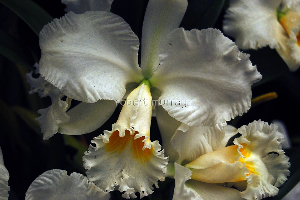 Orchid #4 by robert murray