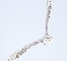 Banking Snowy Owl by Greg Schneider