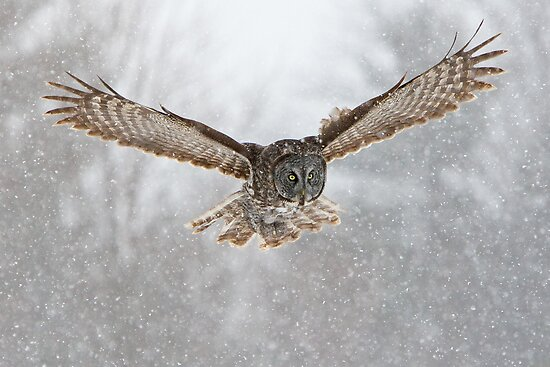 Great Gray Owl flying in snowstorm by Greg Schneider