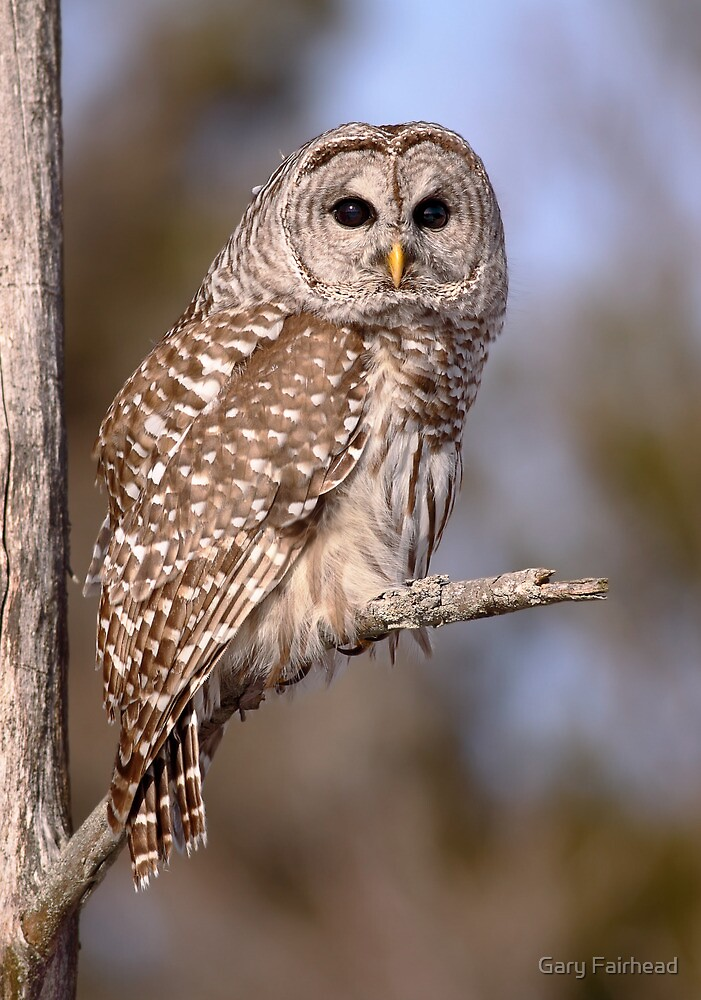 Owl  / Barred Owl Portrait  by Gary Fairhead