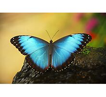 Blue Butterfly... Photographic Print