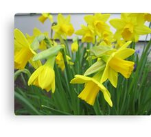 Daffodils in full bloom Canvas Print