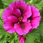 Vibrant Pink Pelargonium Grandiflorum by Kathryn Jones
