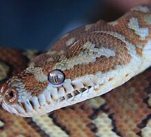 Centralian Carpet python - Morelia bredli by Yvonne Kirk