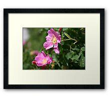 Alberta Wild Roses Framed Print