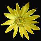 Little Sun - Yellow Daisy on Black Background by BlueMoonRose