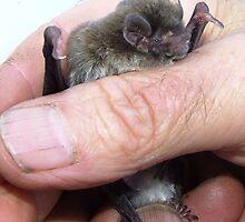 chocolate wattled bat by jeroenvanveen