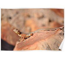 Ring-tailed Dragon (Ctenophorus caudicinctus), Krichauff Ranges, Central Australia Poster