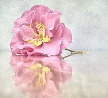 Camellia  Japonica by suzannem73