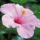 Pink Hibiscus by Beatriz  Cruz