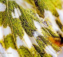 Bath White, pontia daplidice,  wing detail by pogomcl