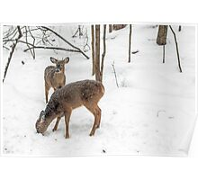 Young Spike Buck and Doe Whitetail Deer In Snowy Woods Poster