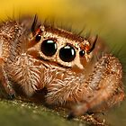 cute jumping spider by Scott Thompson